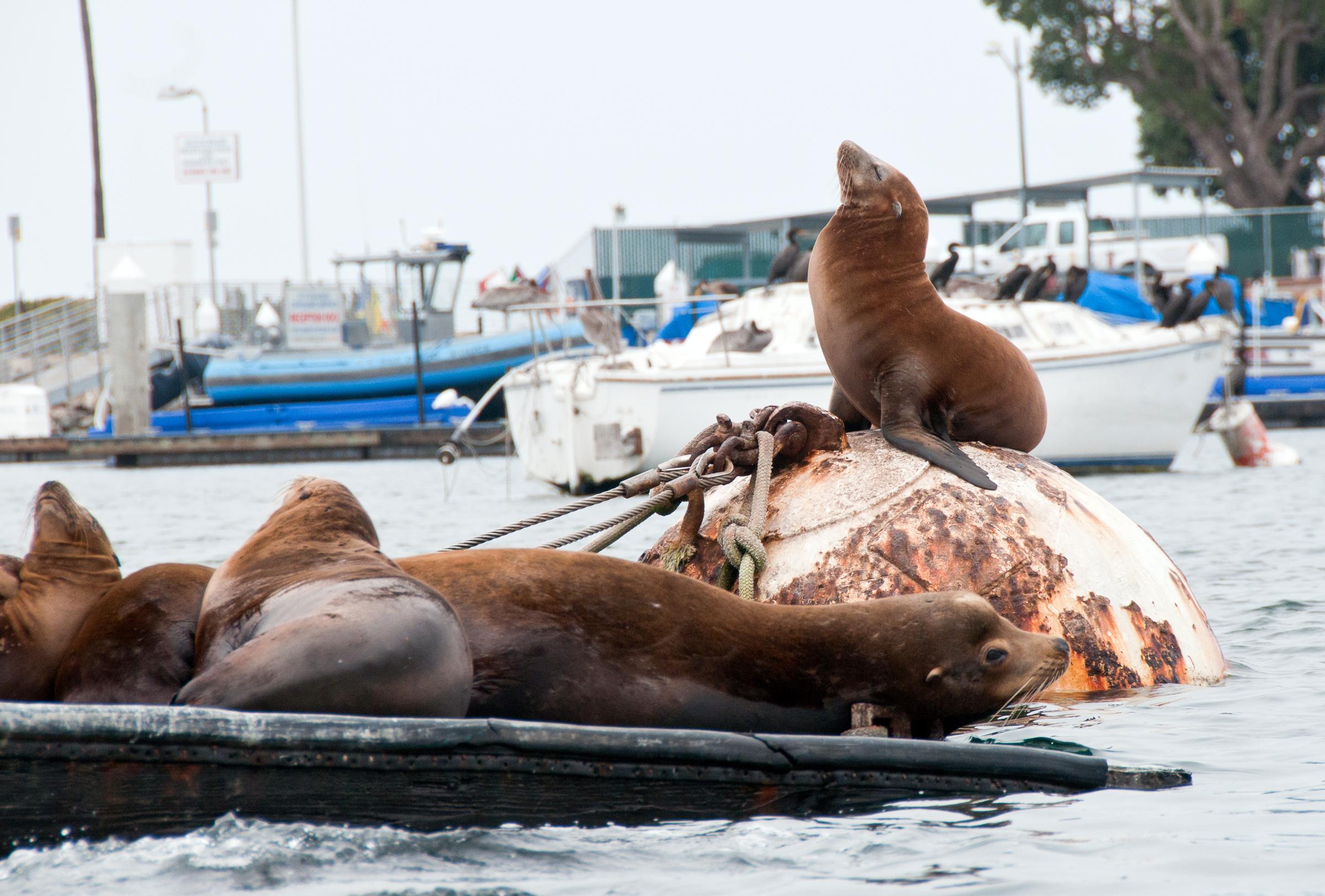 Sea Lions in San Diego marina