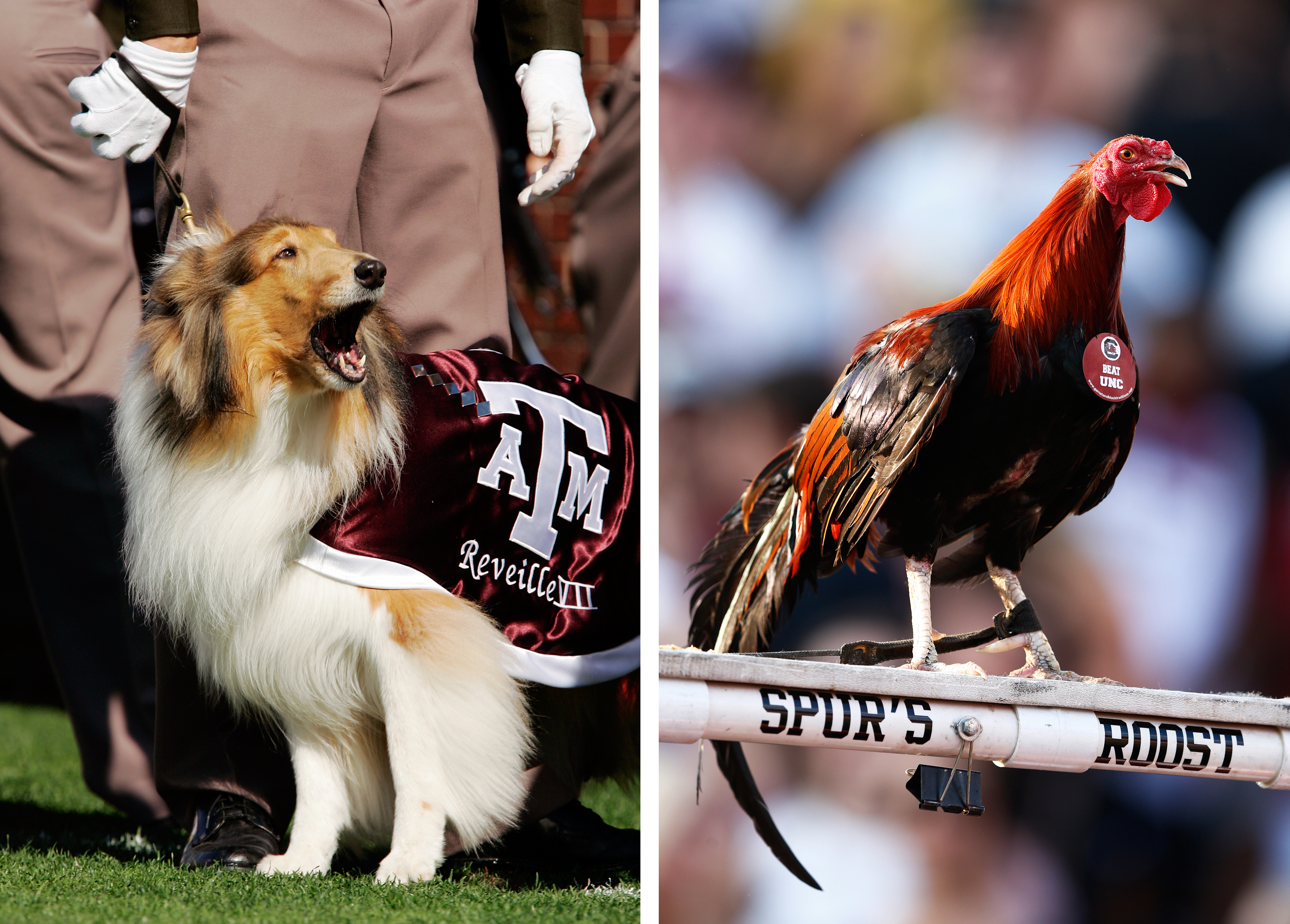 Left: Reveille cheers on the Texas A&M Aggies. Right: South Carolina Gamecocks mascot Sir Big Spur on his perch during the game.