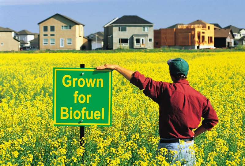 A farmer looks out over his field of canola being grown for biofuel while the encroachment of his farmland by housing development is in the background, Winnipeg, Manitoba, Canada