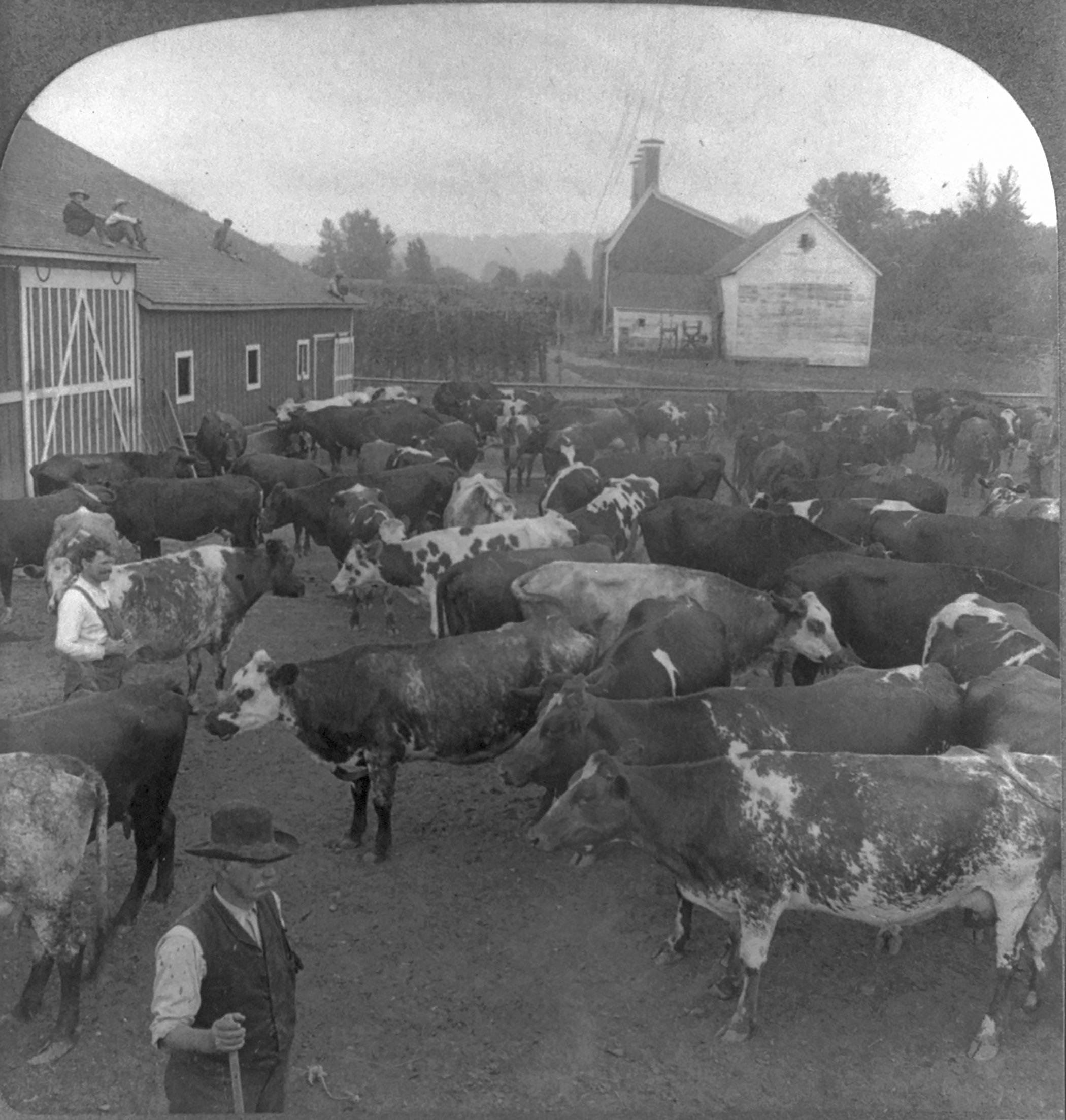 A herd of fine dairy cows on a farm near Seattle, Washington, ca. 1907.