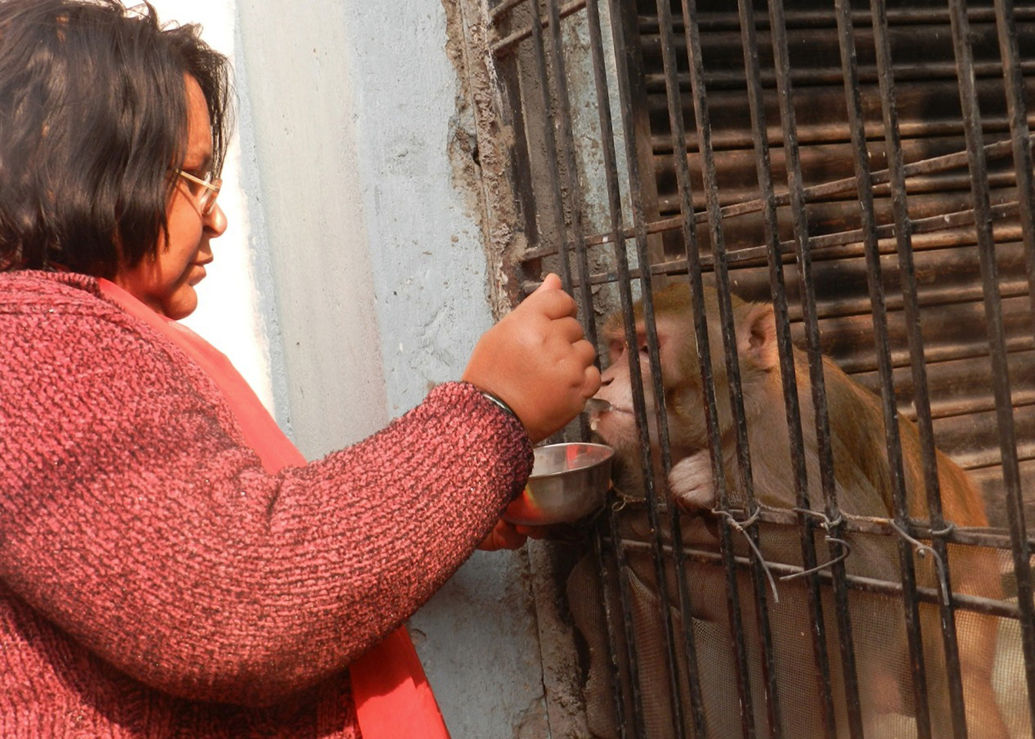 Wife of Brajesh Srivastava, Shabista, feeds their pet monkey Chunmun at their home in Raebareli in northern Uttar Pradesh state, February 16, 2015.