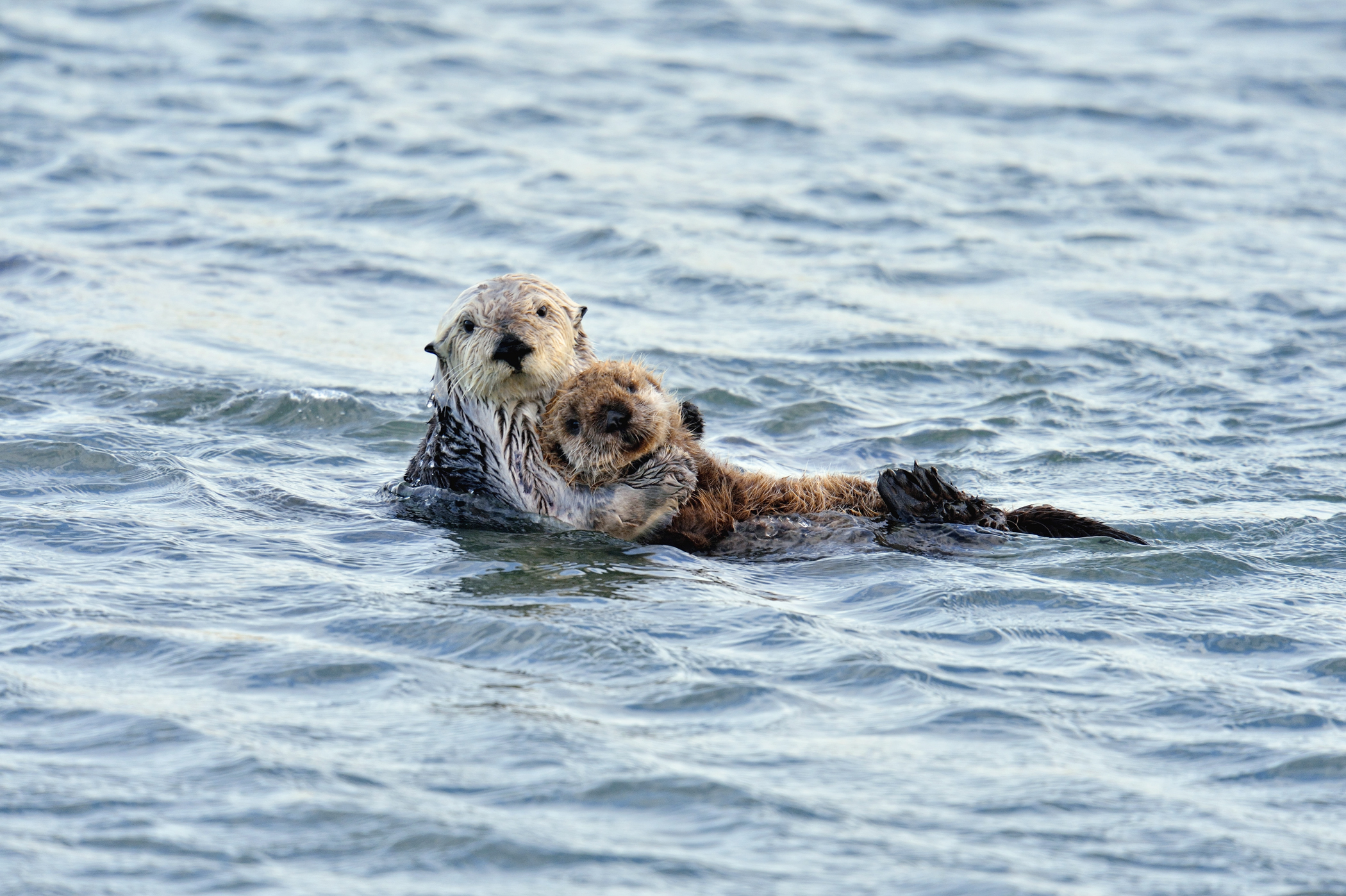 A sea otter family out for a Morro Bay swim