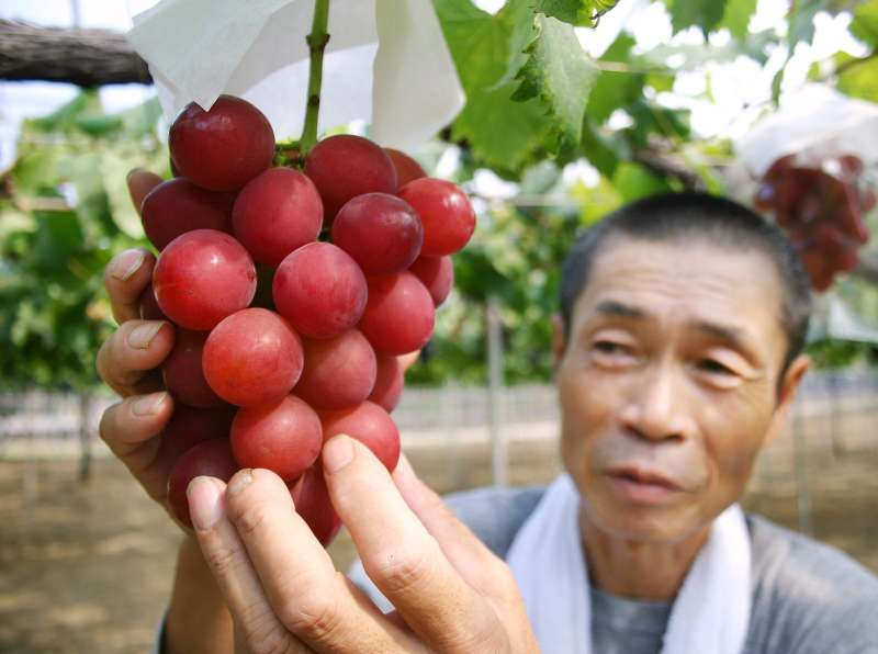 This picture taken on August 11, 2008 shows a cluster of  Ruby Roman  grapes.