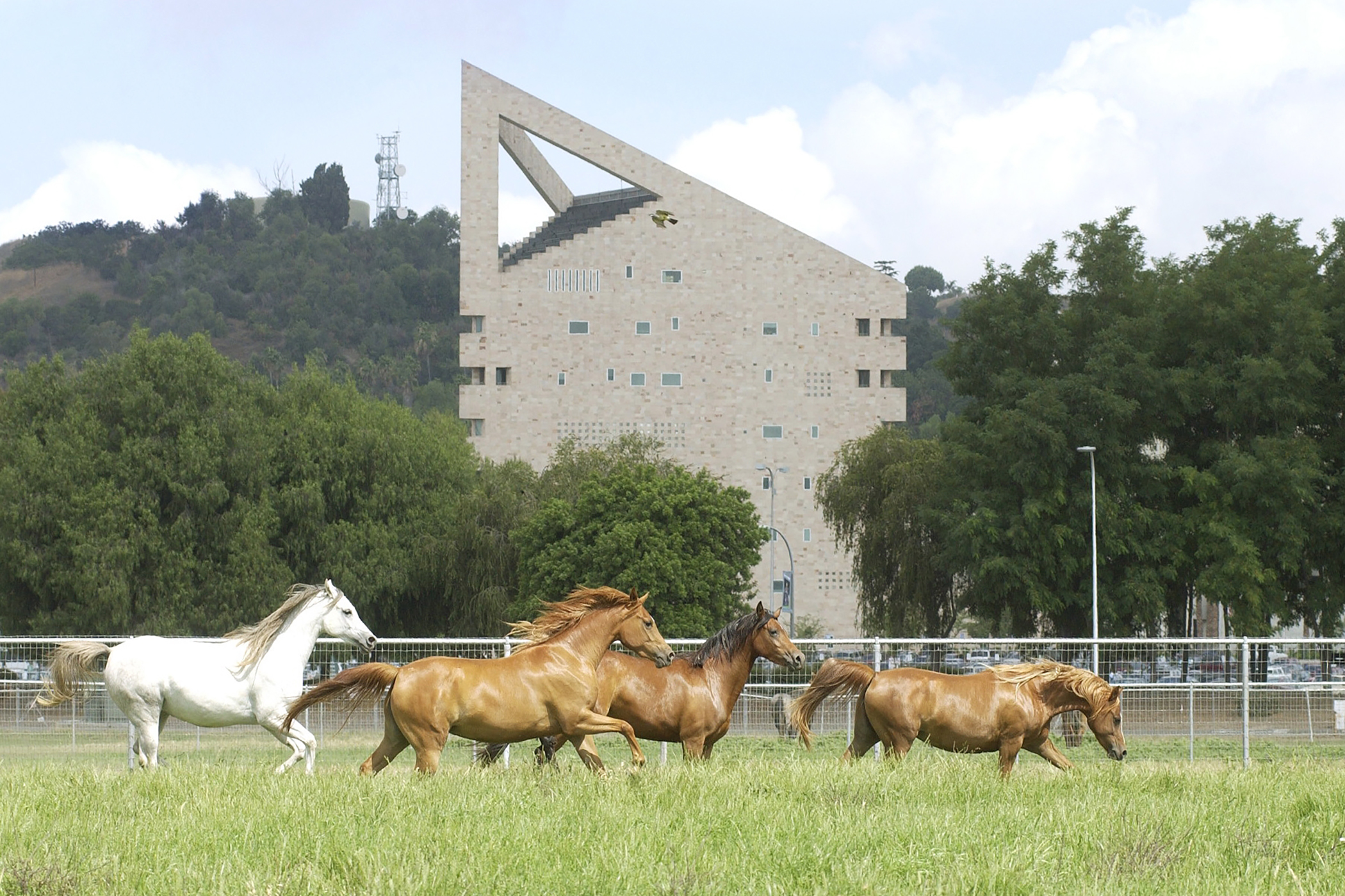 Running mares CLA-Arabian mares gallop in a pasture near the CLA building at Cal Poly Pomona.