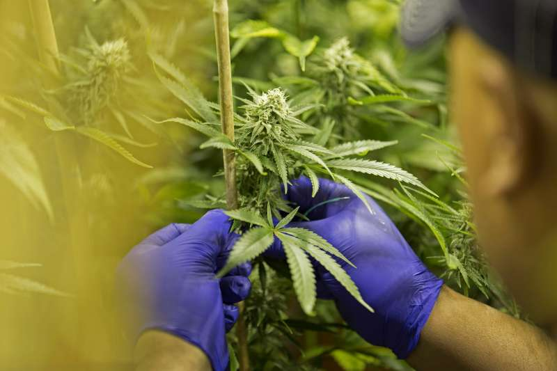 Manager Ross Phillip stakes marijuana plants in a flower room at the grow facility for Sense of Healing dispensary in Denver, Colorado, U.S., on Wednesday, Dec. 9, 2015.
