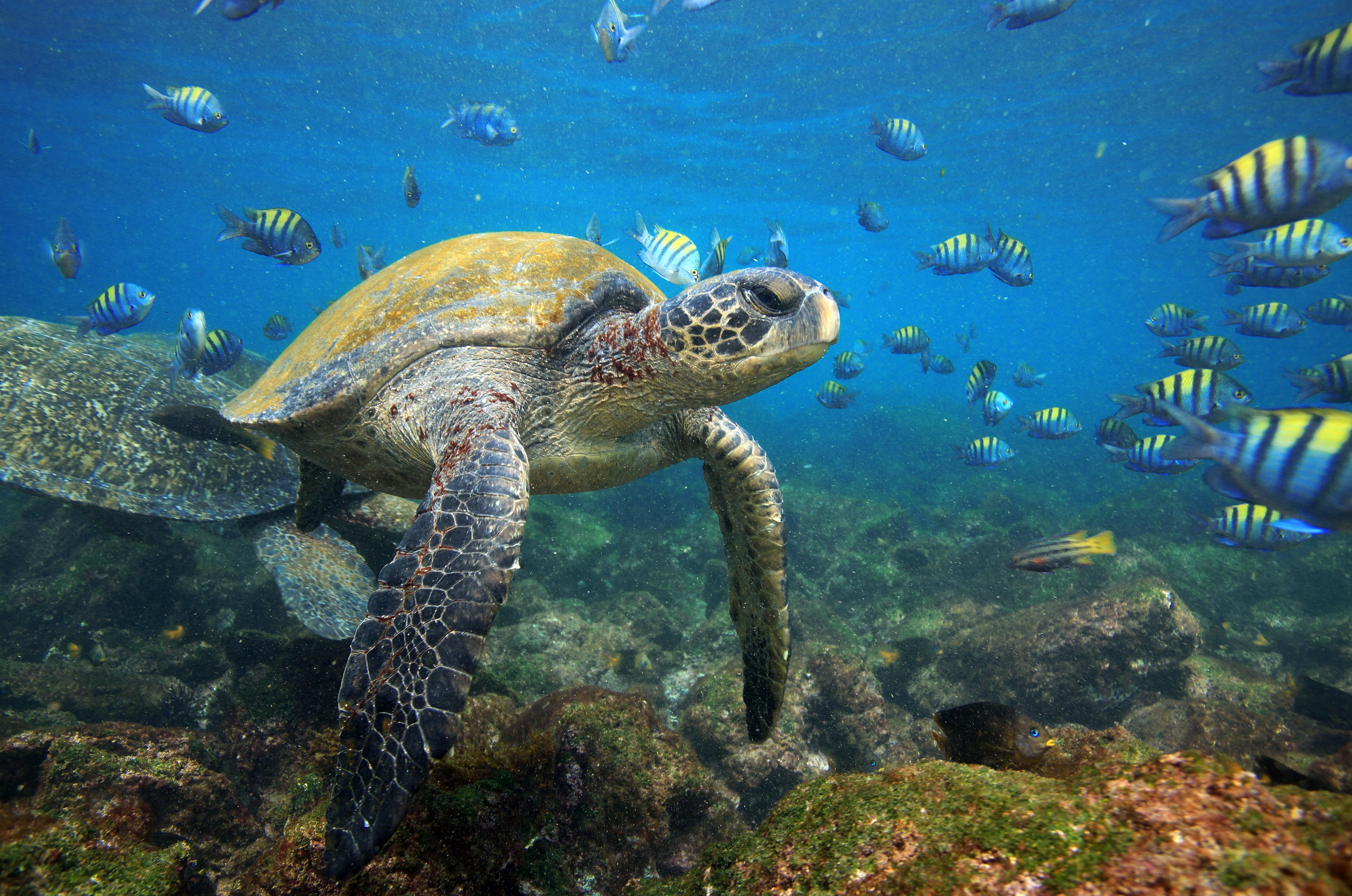 Sea turtles in lagoon, Galapagos Islands