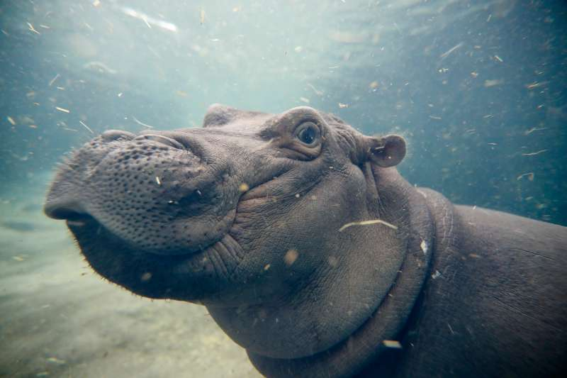 Fiona, a Nile hippopotamus plays in her enclosure at the Cincinnati Zoo.