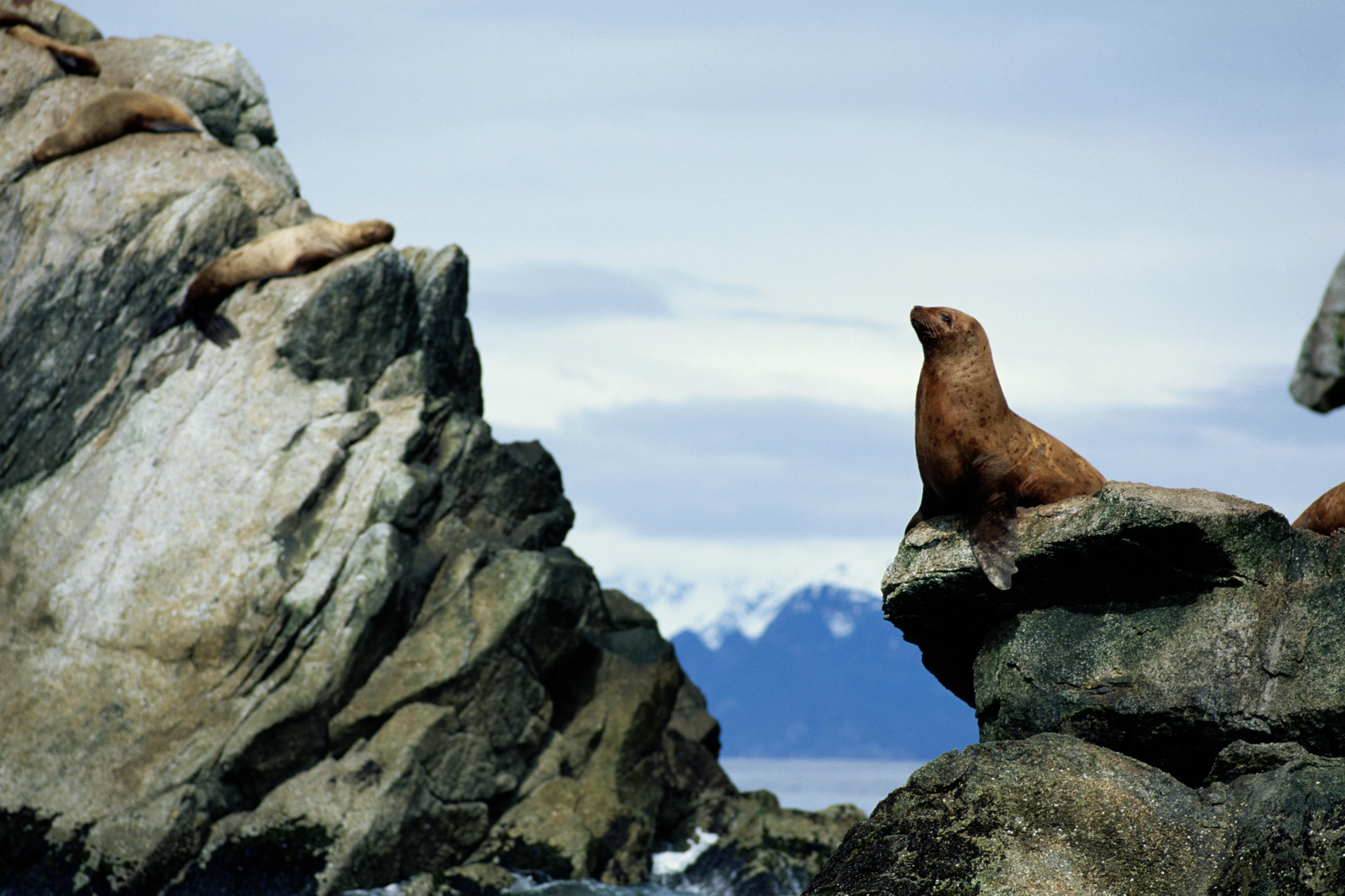 Steller's sea Lion (Eumetopiasjubatus) preparing to dive, Kenai Fjords