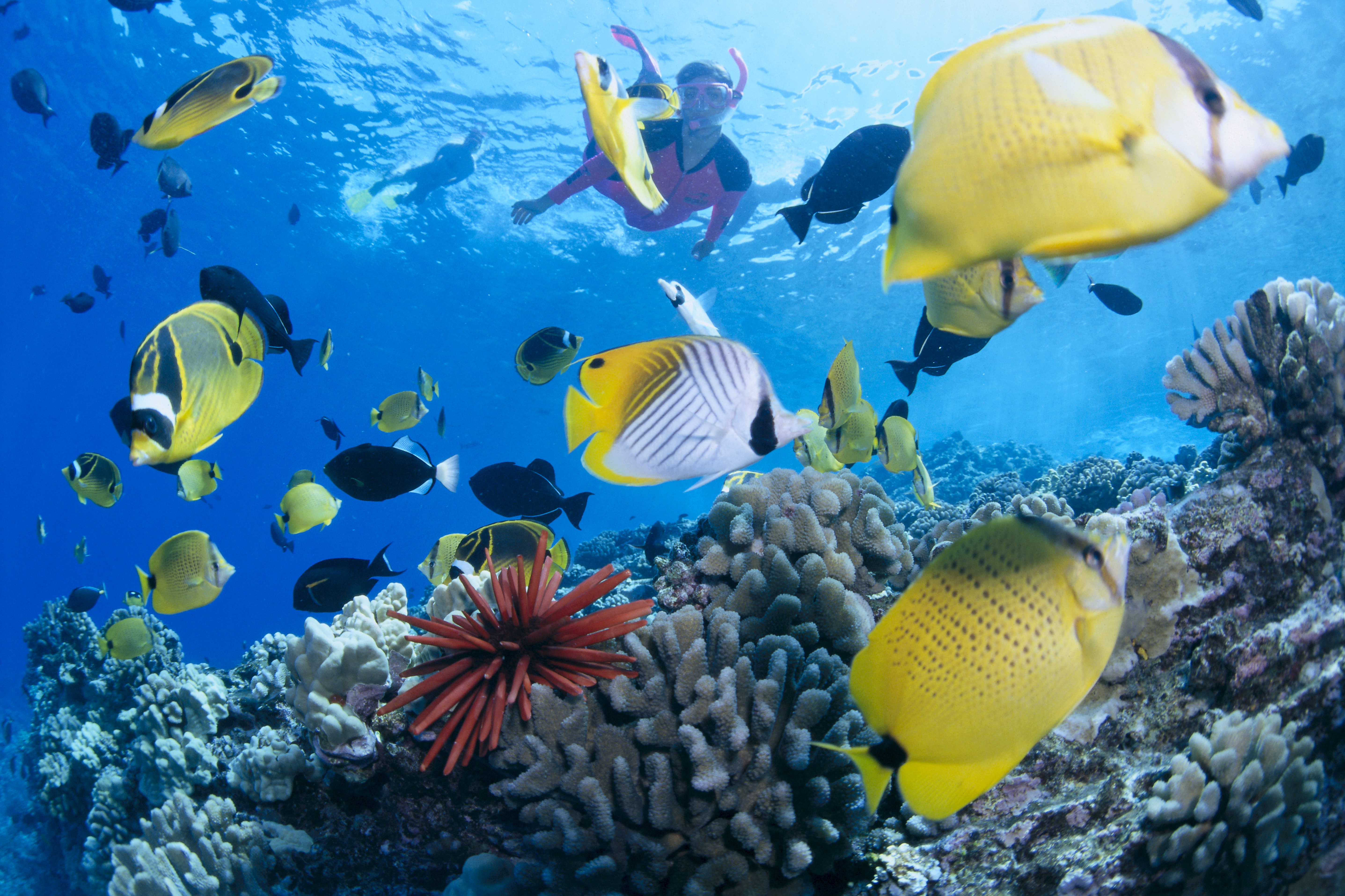 Hawaii, Maui, Molokini, Woman In Pink Snorkels With Tropical Fish, Coral Reef Urchin