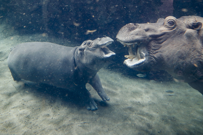 Zoo Hippo Fiona, Cincinnati, USA - 02 Nov 2017