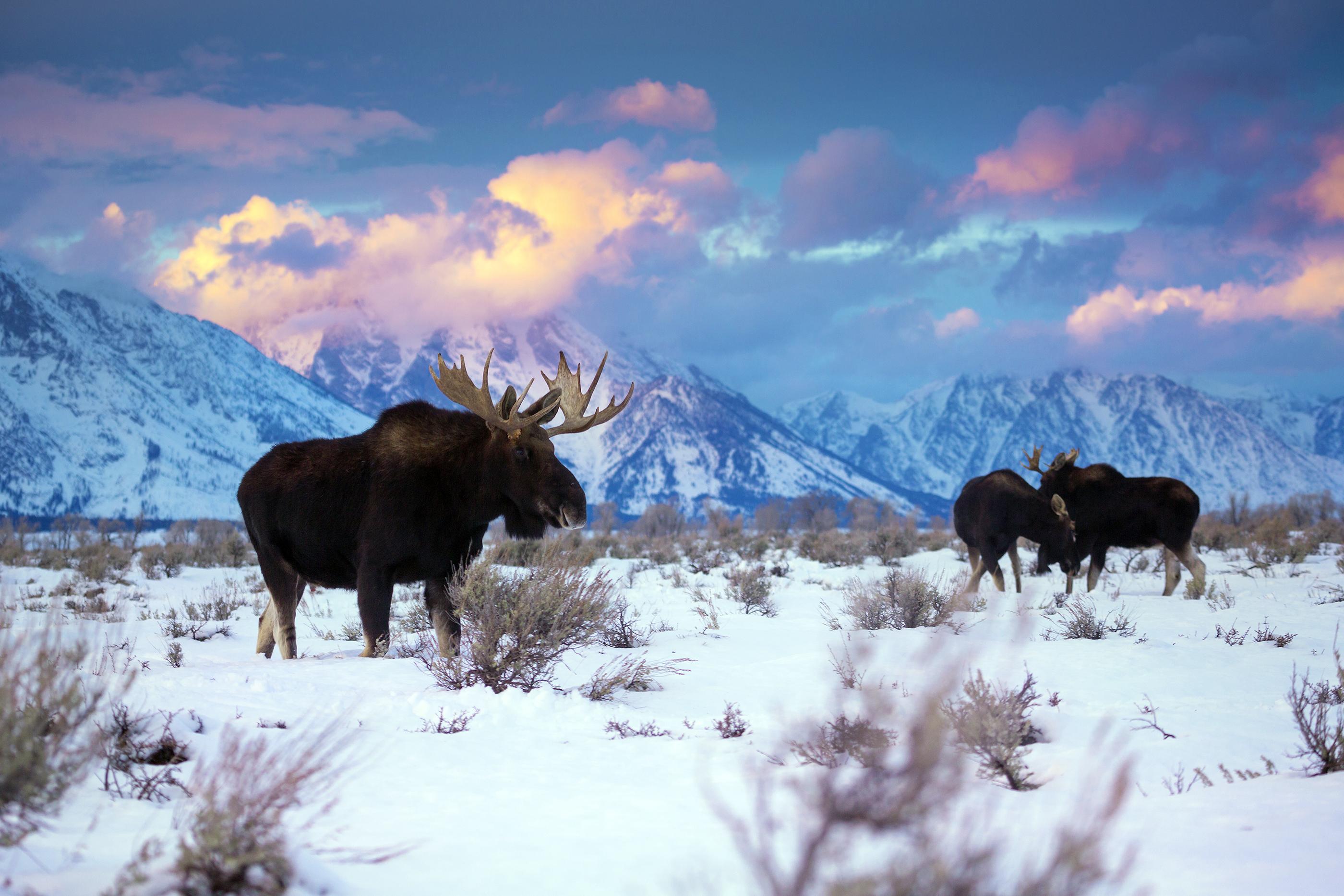 Elk in the Teton range