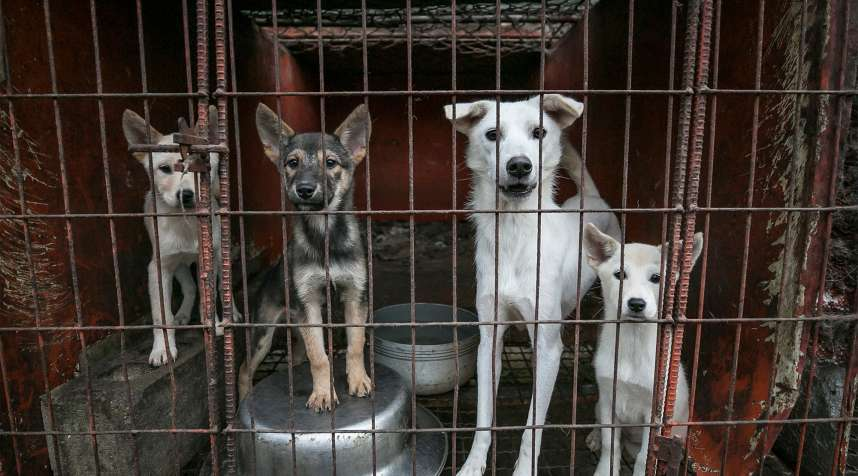 Clove, second from right, a mother dog, and her puppies are shown locked in a cage at a dog meat farm in Namyangju, South Korea, on Thursday, October 4, 2018.  The operation is part of HSIs efforts to fight the dog meat trade throughout Asia. In South Korea, the campaign includes working to raise awareness among Koreans about the plight of meat dogs being no different from the animals more and more of them are keeping as pets.